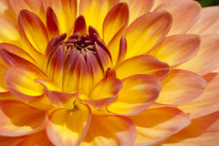 Fiery yellow, orange bulb Dahlia in extreme closeu Stock Images
