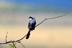 Fiscal bird on a branch Stock Photography