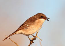 Fiscal Flycatcher. Photopgraphed in South Africa Royalty Free Stock Photography