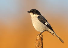 Fiscal Flycatcher Stock Photo