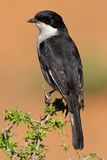 Fiscal flycatcher Royalty Free Stock Image