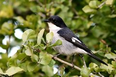 Fiscal Flycatcher Stock Images