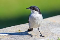 Fiscal Flycatcher bird standing. White and black Fiscal Flycatcher standing on wall, South Africa Stock Image