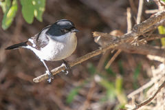 Fiscal Flycatcher. A Fiscal Flycatcher on a branch in a shrub Stock Photo