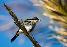 Fiscal Flycatcher on palm frond Royalty Free Stock Images