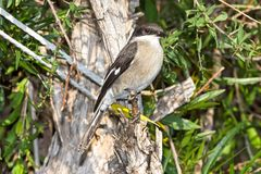 Fiscal Flycatcher perched on twig. Close-up photograph of Fiscal Flycatcher perched on twig in Karoo National Park Stock Image
