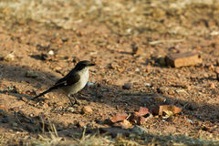 Fiscal Flycatcher - Sigelus silens Stock Image