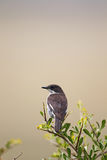 Fiscal Flycatcher (Sigelus silens) Royalty Free Stock Image