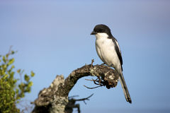 Fiscal Shrike. A close-up of a fiscal shrike perched on a branch, Addo National Elephant Park Stock Photo