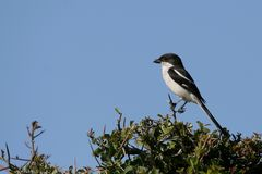 Fiscal Shrike Bird. Perched on branch with blue sky in background Royalty Free Stock Image