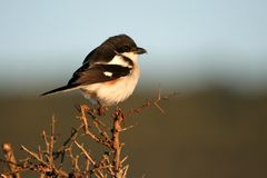 Fiscal Shrike Female Royalty Free Stock Images