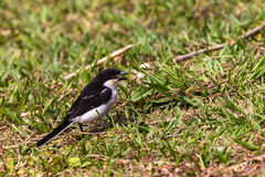 Fiscal Shrike jackie-hangman bird Stock Photography