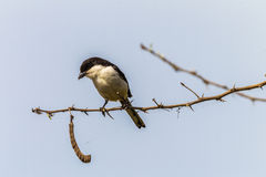 Fiscal Shrike jackie-hangman bird Royalty Free Stock Images