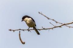 Fiscal Shrike jackie-hangman bird royalty free stock images