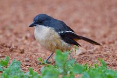 Fiscal shrike (lanius collaris) Stock Photo