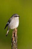 Fiscal shrike (lanius collaris). At Addo Elephant Park in South Africa Stock Photo