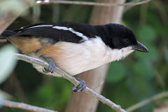 Fiscal Shrike (Lanius collaris) Stock Images