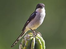 Fiscal Shrike (Lanius collaris) Royalty Free Stock Images