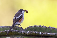 Fiscal Shrike (Lanius collaris) Royalty Free Stock Image