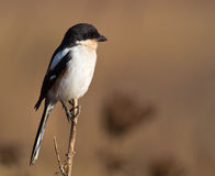 Fiscal Shrike with muddy beak Royalty Free Stock Photos