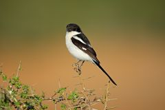 Fiscal shrike, South Africa. A fiscal shrike (Lanius collaris) perched on a twig, South Africa Royalty Free Stock Images