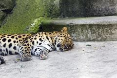 A fiscalização animal tranquilizou o leopardo de Amur vagueou na cidade, China do nordeste imagens de stock royalty free