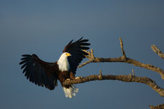 Fisch-Adler Stockfoto