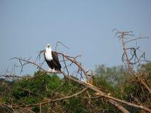 Fisch-Adler auf einem Zweig Stockfoto
