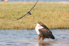 Fisch-Adler und Raubseeschwalbe im Kampf Stockfotos