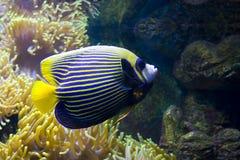Fisch-Engel (Fischkaiser) und Actinia (Seeanemone) Stockfoto