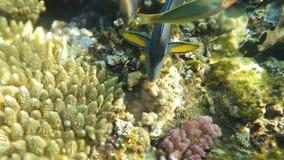 Fisch-Fütterung, die Korallen essend stock footage