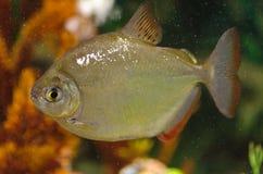 Fisch ist ein silbernes Metynnis Lizenzfreie Stockfotografie
