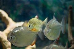Fisch ist ein silbernes Metynnis-Schwimmen im Aquarium Lizenzfreies Stockbild
