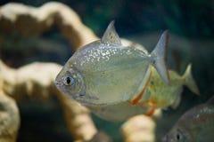 Fisch ist ein silbernes Metynnis-Schwimmen im Aquarium Stockbild