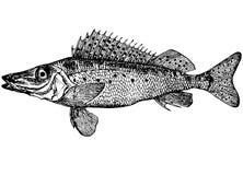 Fisch-Kampfläufer (Abbildung) Stockbilder