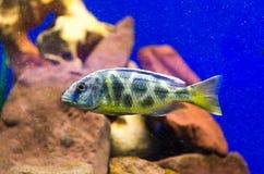 Fisch-Leopardgold im Aquarium Stockfotos
