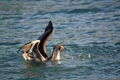Fisch nimmt Pelikan in Angriff stockfoto