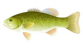 Fisch-Schwarzbarsch Lizenzfreie Stockfotografie