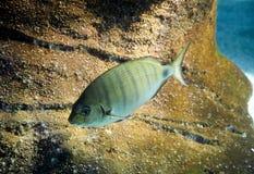 Fisch schwimmt im Marineaquarium Stockfoto