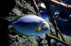 Fisch schwimmt im Marineaquarium Lizenzfreie Stockbilder