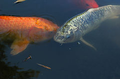 Fisch-Teich Stockbild