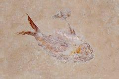 Fisch-u. Garnele-Fossil Stockbild