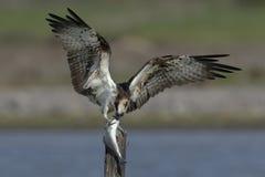 Fischadler Lizenzfreie Stockfotografie