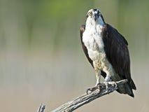 Fischadler auf Baumast Lizenzfreie Stockfotos