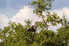 Fischadler auf dem Baum Serengeti, Grumeti-Flussufer afrika Lizenzfreies Stockbild