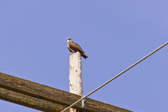 Fischadler auf einem Strommast Lizenzfreie Stockbilder