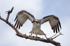 Fischadler beflügelt oben Lizenzfreies Stockfoto