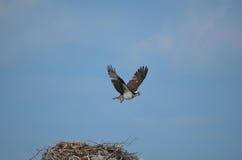 Fischadler, der über ein Nest fliegt Stockbild