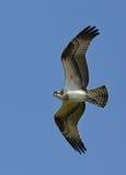 Fischadler, der über NY-Bucht fliegt Stockbilder