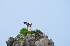 Fischadler, der auf einer Leiste in Casco-Bucht sitzt Lizenzfreie Stockbilder